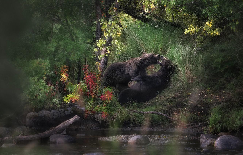 Фото обои лес, листья, поза, камни, заросли, берег, игра, медведи, пара, два, водоем, бурые, два медведя, резаятся