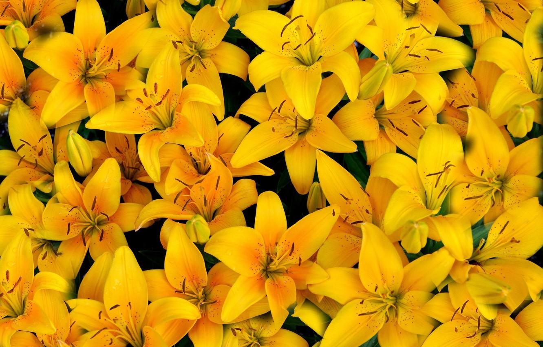 Фото обои желтый, лилии, лепестки