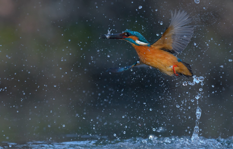 Фото обои вода, капли, брызги, птица, рыба, зимородок, kingfisher, улов