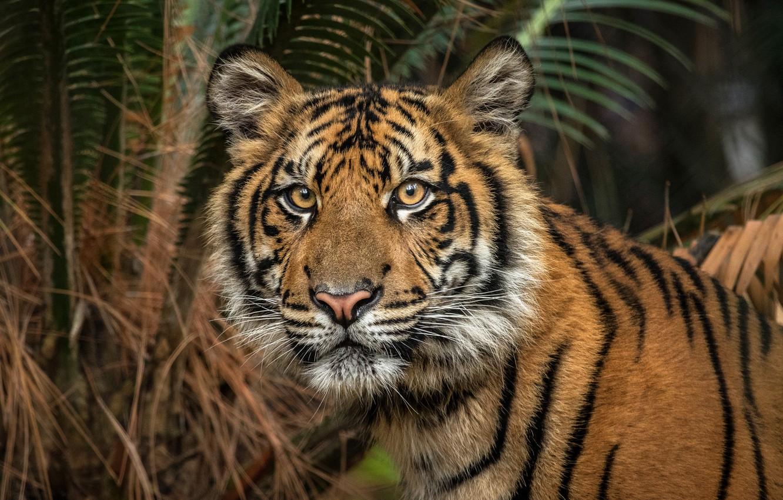 Фото обои взгляд, морда, листья, природа, тигр, пальма, фон, темный, портрет