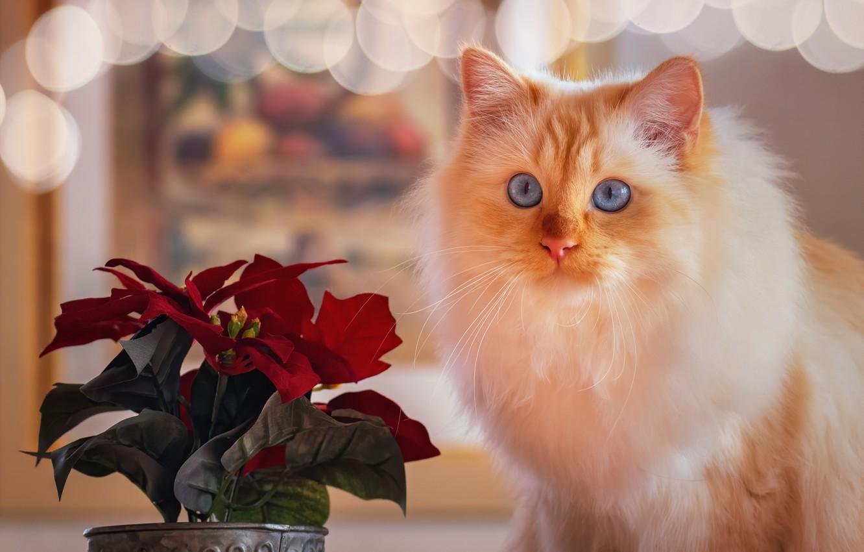Фото обои кошка, цветок, блики, портрет, мордочка, голубые глаза, пушистая, пуансеттия