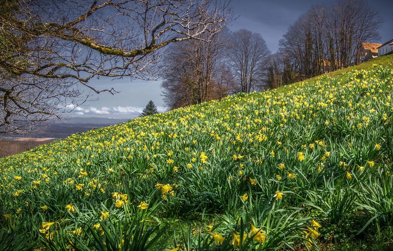 Фото обои деревья, пейзаж, цветы, природа, весна, склон, нарциссы