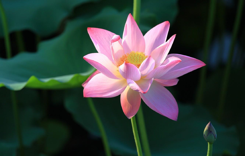 Фото обои лепестки, лотос, цветение