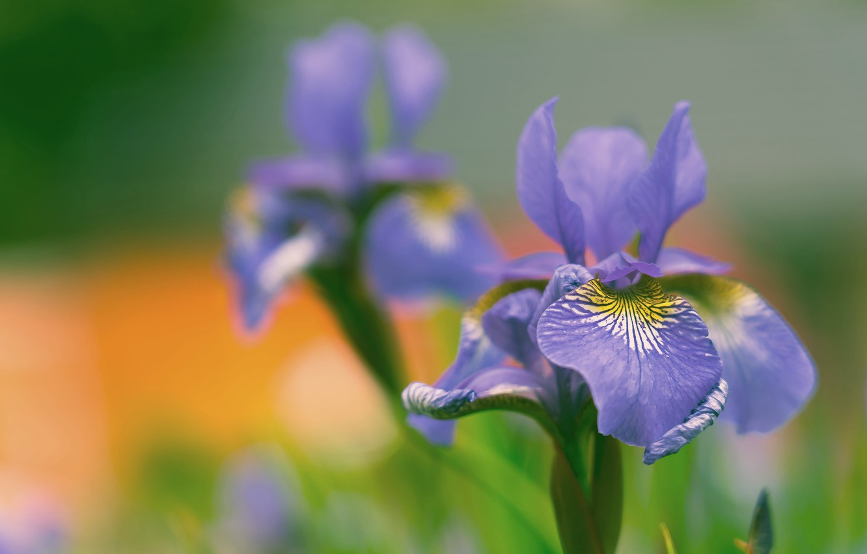 Обои касатик. Цветы foto 12