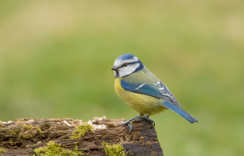 Фото обои птица, синица, лазоревка