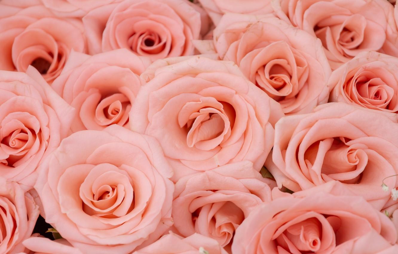 Обои розы, бутоны, mnogo. Цветы foto 15