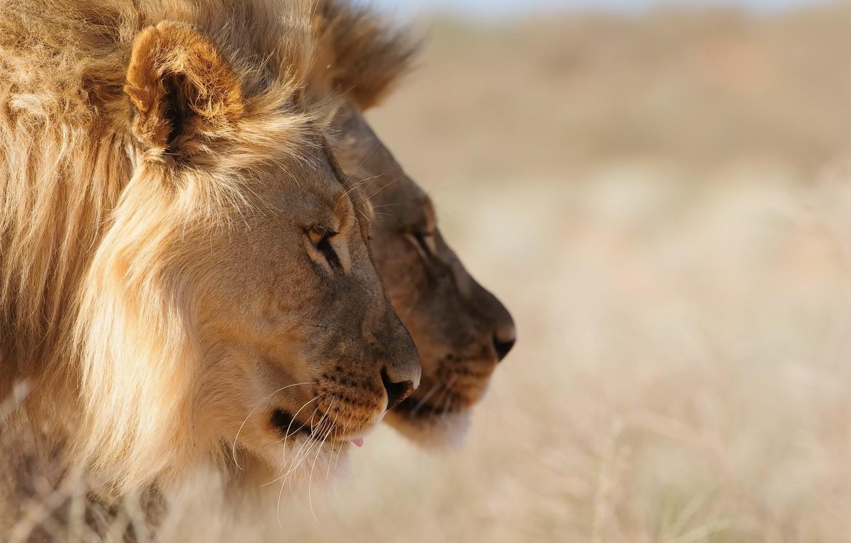 Фото обои природа, звери, львы