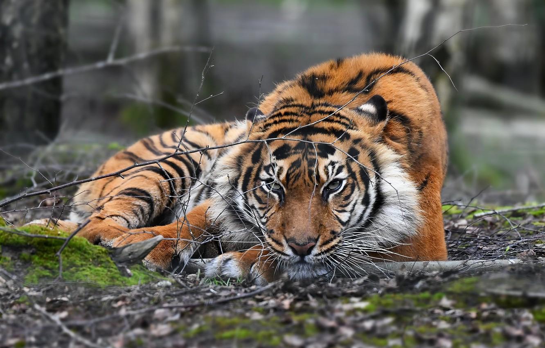 Фото обои природа, тигр, зверь