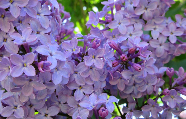Фото обои цветы, сирень, весна 2018, Mamala ©