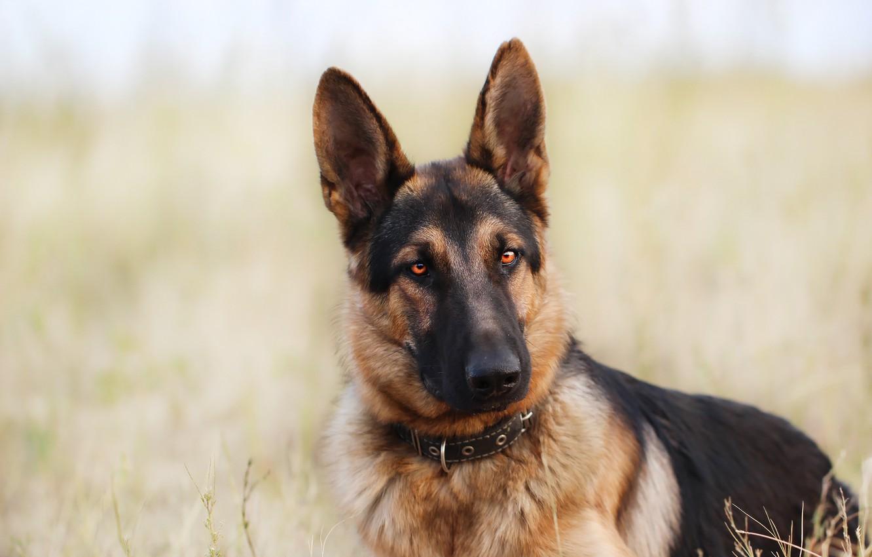 Фото обои взгляд, фон, друг, собака