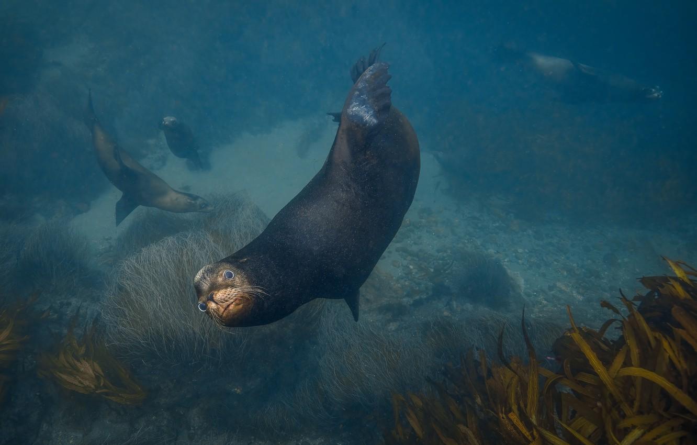 Фото обои морской котик, Jennifer Lu, Arctocephalinae, fur seal