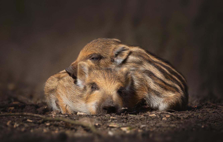 Фото обои природа, темный фон, сон, пара, кабан, малыши, парочка, два, спят, лежат, детеныши, полосатые, кабанчик, поросенок, …