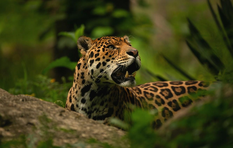 Фото обои зелень, морда, камень, портрет, пасть, клыки, ягуар, дикая кошка