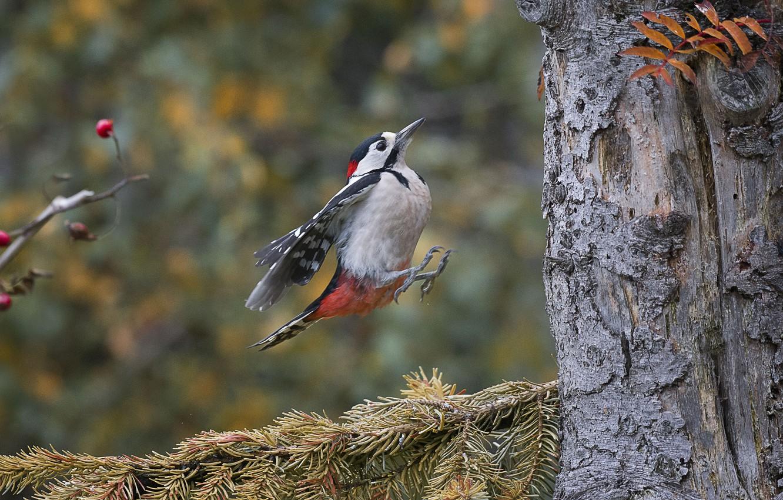 Обои Дятел, природа, птицa. Животные foto 17