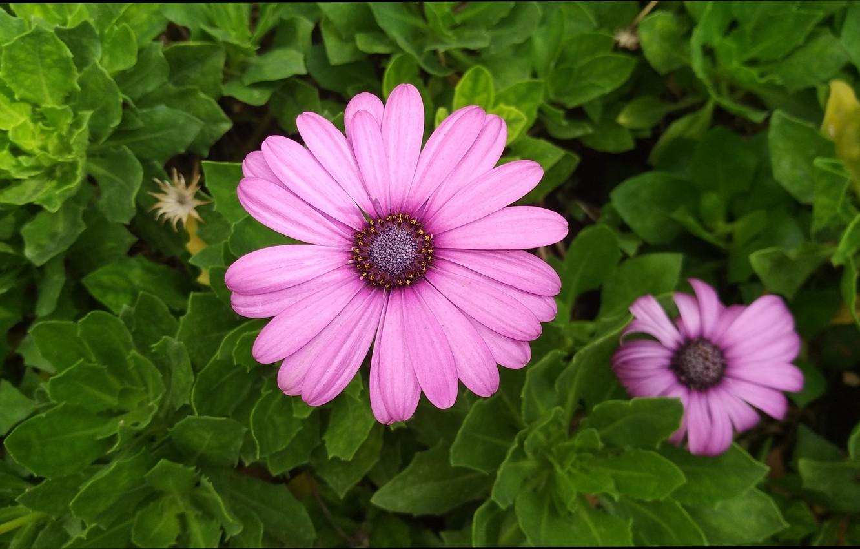 Фото обои Цветочки, Фиолетовые цветы, Purple flowers