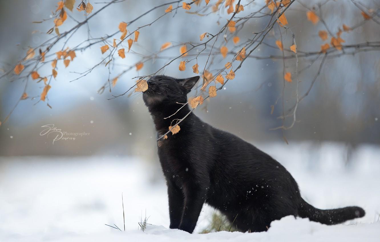 Фото обои зима, кошка, кот, листья, снег, ветки, природа, животное, Светлана Писарева