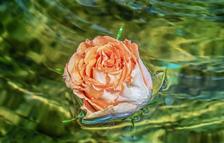 Обои бутон, цветок, Вода, свет, капли. Цветы foto 7