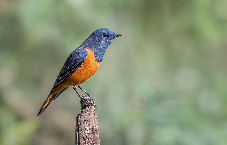Фото обои птица, птаха, синелобая горихвостка