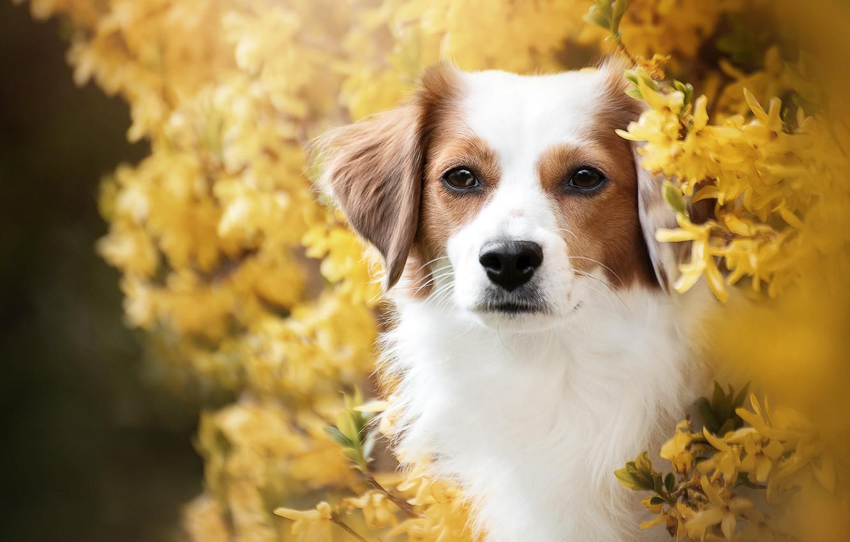 Фото обои взгляд, морда, портрет, собака, цветение, кусты, цветки, форзиция, Коикерхондье