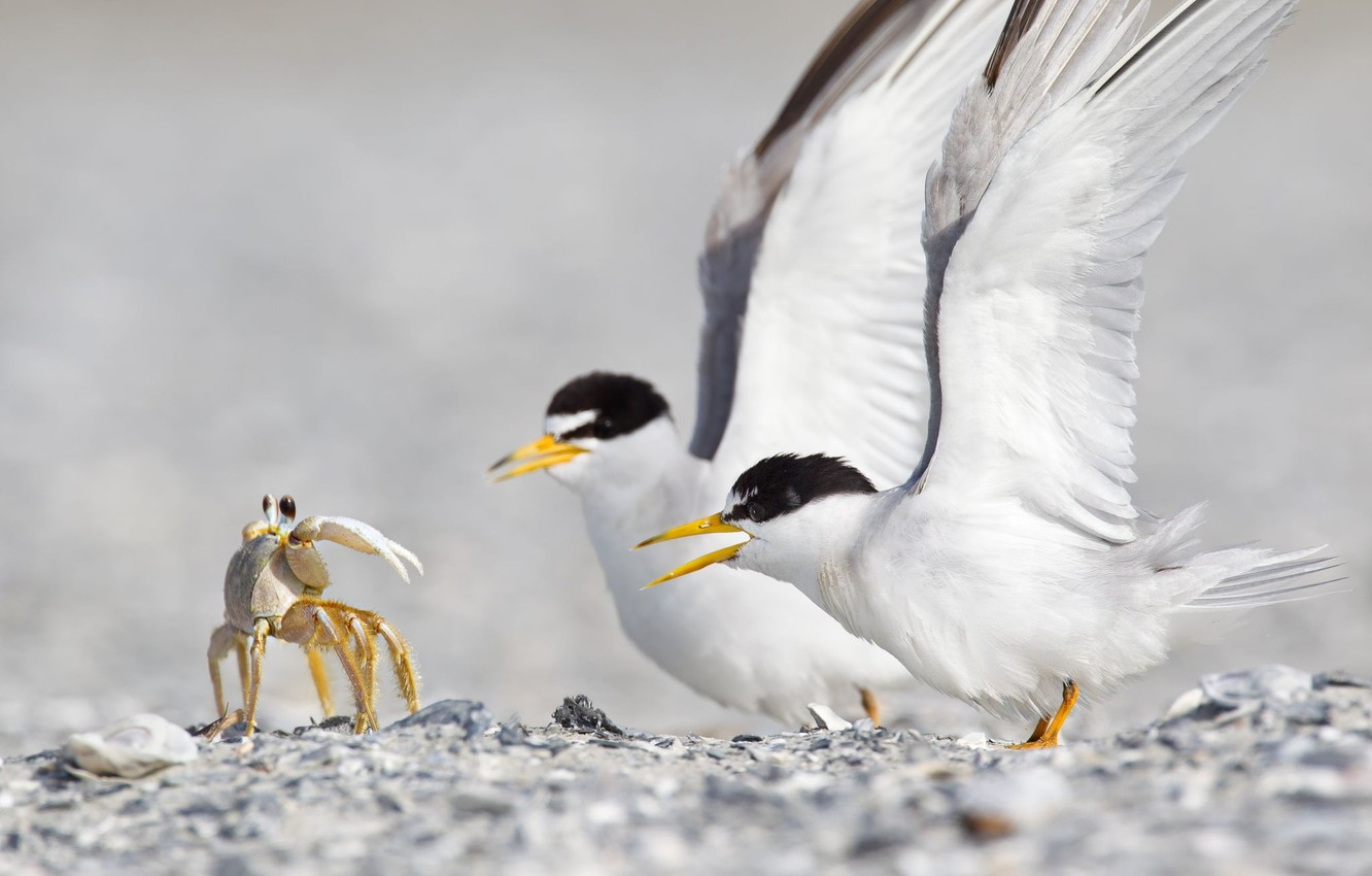 Фото обои crab, ghost crab, tern, terns