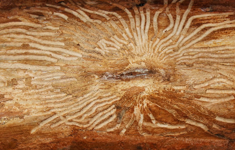 Фото обои Дерево, жуки, кора