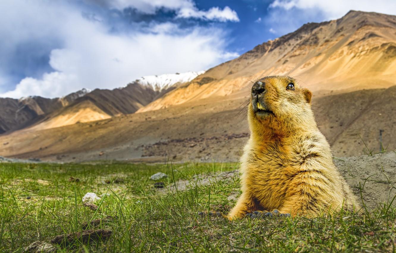 Фото обои природа, Гималайский сурок, Marmota himalayana