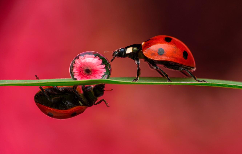 Фото обои цветок, макро, насекомые, фон, капля, божья коровка, жуки, парочка, травинка