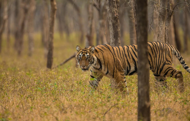 Фото обои лес, трава, деревья, тигр, хищник, дикая кошка