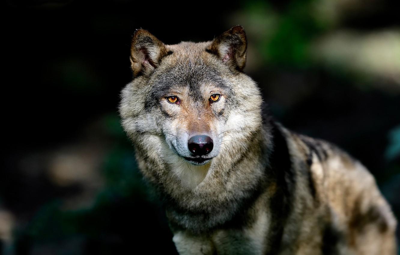 официального фото волка на фоне города девушек