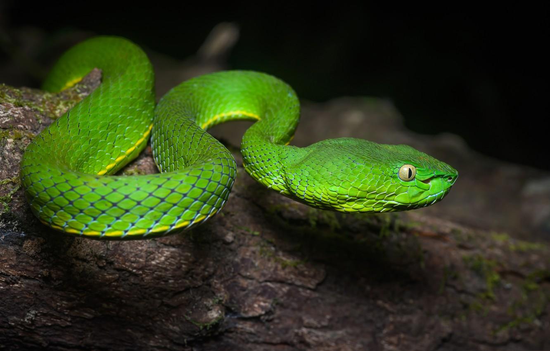 Фото обои природа, змея, пресмыкающееся