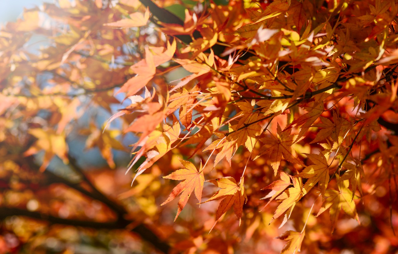 Фото обои осень, листья, colorful, клен, autumn, leaves, осенние, maple