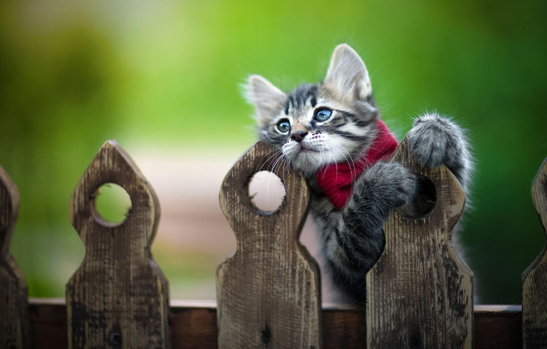 Фото обои поза, животное, забор, детёныш, котёнок, бант, Юрий Коротун