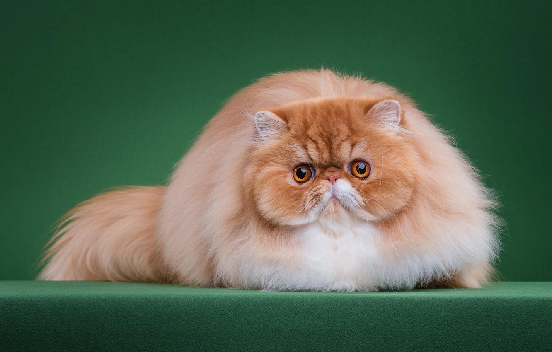 Открытки коты персы, дочке мамы