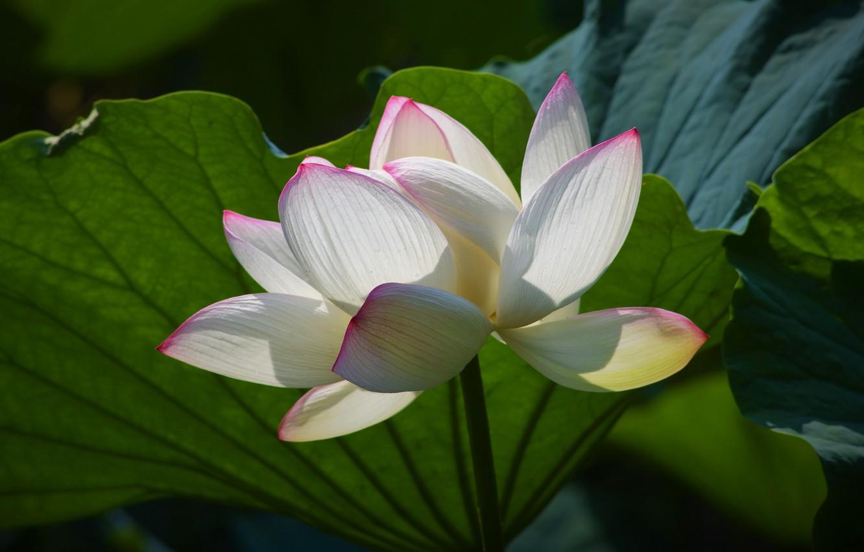 Фото обои белый, цветок, листья, свет, лотос