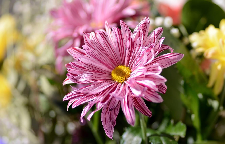 Фото обои цветок, весна, боке, хризантема