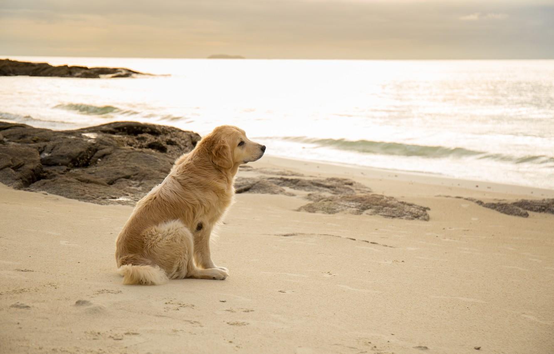Фото обои песок, море, пляж, лето, собака, summer, golden, лабрадор, beach, sea, seascape, dog, sand, labrador, ретривер, …
