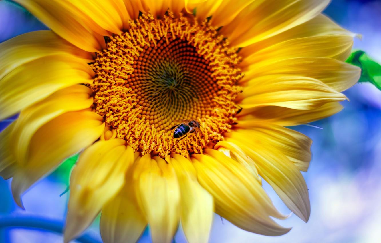 Фото обои макро, пчела, подсолнух, лепестки