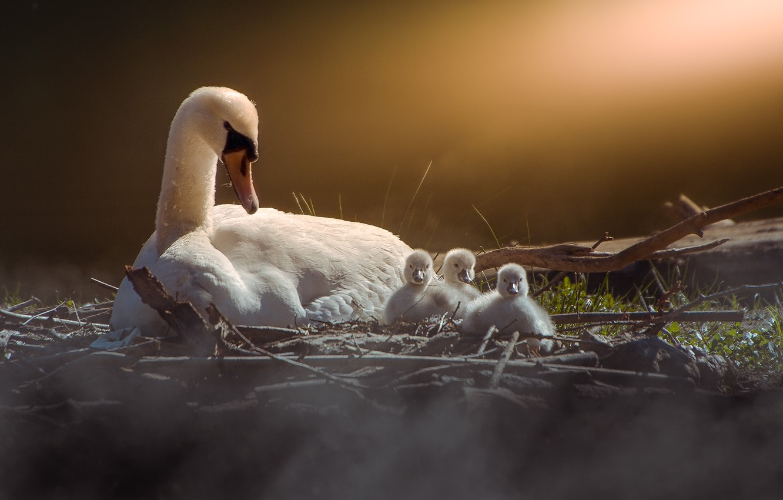 Фото обои птицы, природа, лебеди