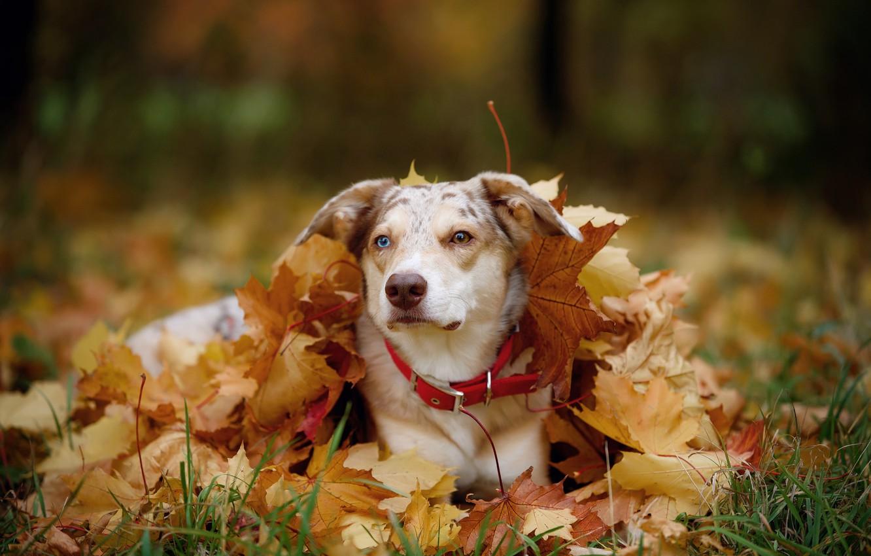 Фото обои осень, морда, листья, природа, листва, портрет, собака, ворох листьев