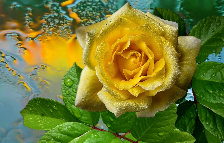 Фото обои капли, дождь, Роза, жёлтая