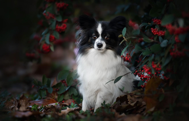 Фото обои осень, взгляд, ветки, ягоды, портрет, собака, Папийон, Континентальный той-спаниель