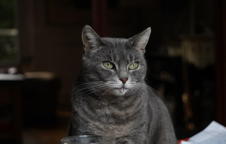 Фото обои кошка, кот, взгляд, морда, стакан, дом, темный фон, серый, капля, портрет, помещение, зеленые глаза, дымчатый, …