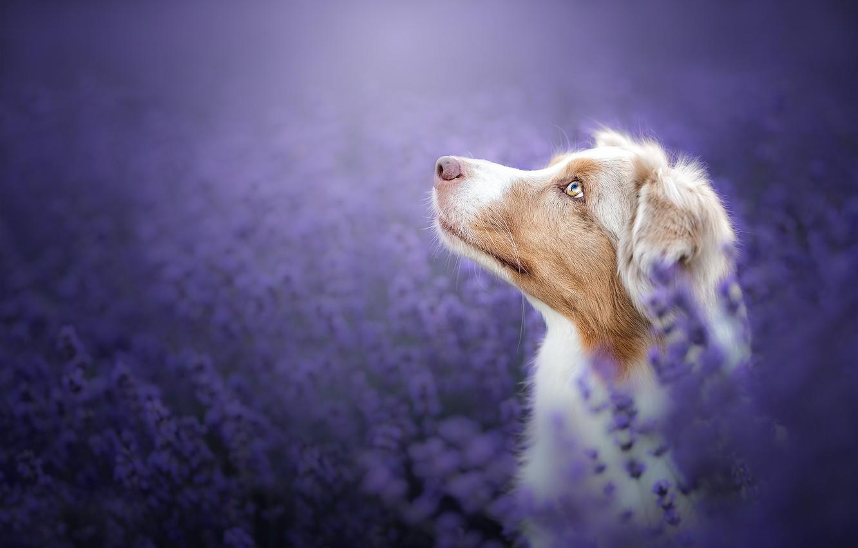 Фото обои морда, цветы, фон, портрет, собака, профиль, лаванда, боке, Австралийская овчарка, Аусси