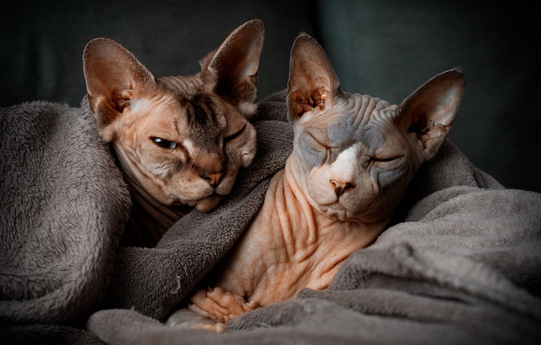 Фото обои плед, парочка, мордашки, Сфинксы, котейки