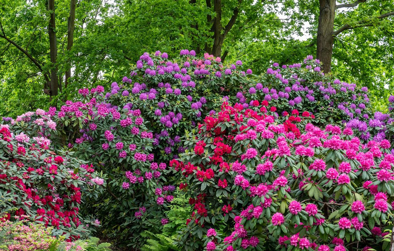 Обои рододедрон, кусты, парки. Цветы foto 7