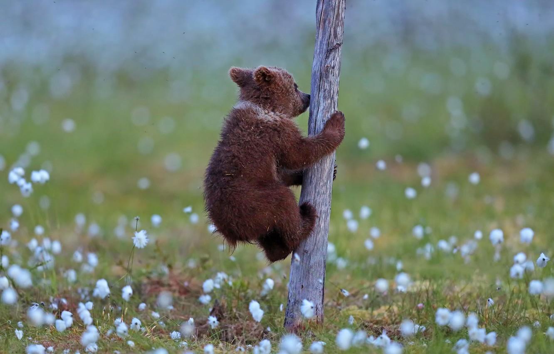 Фото обои дерево, медвежонок, tree, Valtteri Mulkahainen, bear cub