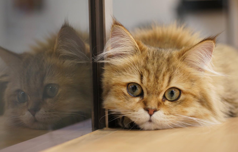 Фото обои кошка, кот, взгляд, стекло, отражение, мордочка, котейка