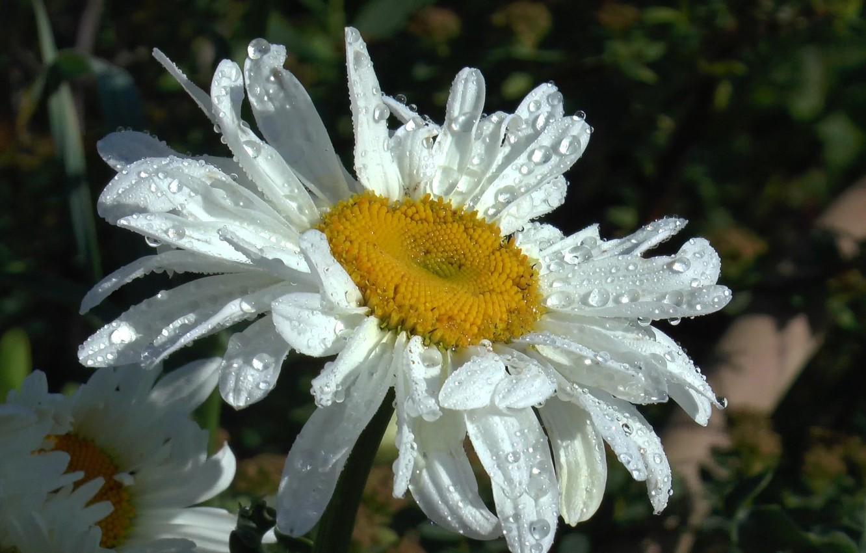 Фото обои лето, капли, роса, дождь, ромашка