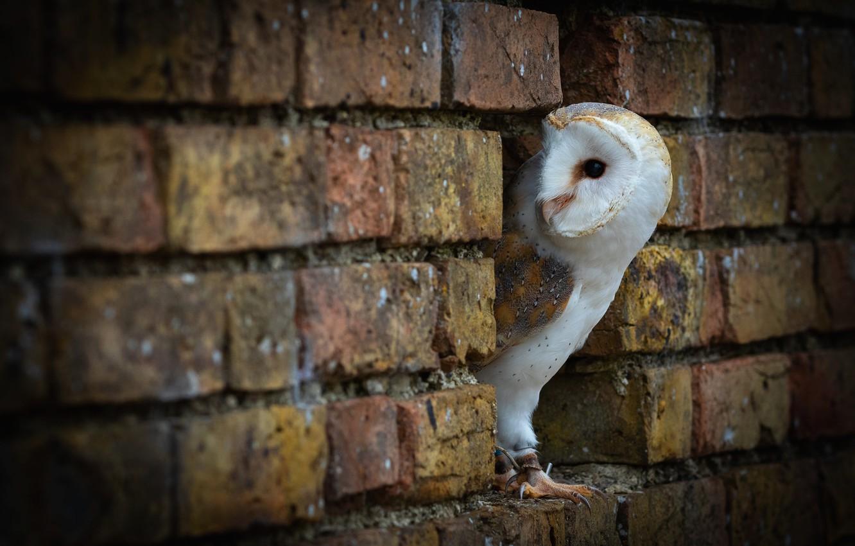 Фото обои взгляд, стена, сова, птица, портрет, кирпичи, кирпичная, выглядывает, сипуха