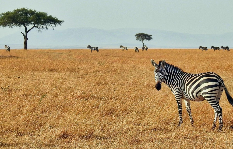Фото обои africa, zebra, serengeti